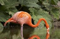 Canvas-taulu Flamingo 498