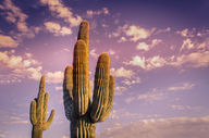 Canvas-taulu Kaktus Meksiko 485