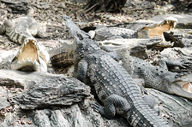 Canvas-taulu Krokotiilit 488